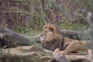 lion_600px-300x200